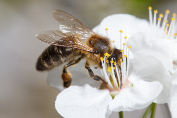 A bee on a white flower