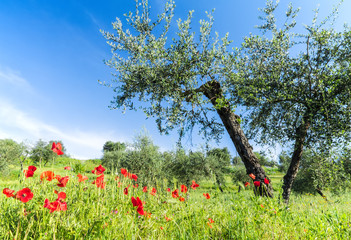 The red poppies and olive tree at spring