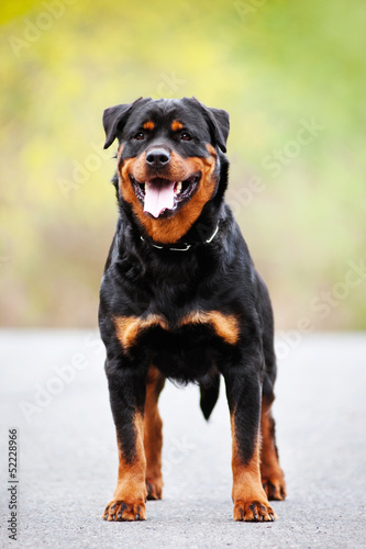 rottweiler dog standing outdoors