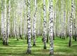 Leinwanddruck Bild - First spring greens in birch grove