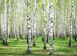 First spring greens in birch grove © Elena Kovaleva