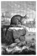 Kangaroo - Kangourou - Macropus Antilopinus