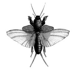 Insect - Taupe-Grillon - Gryllotalpa Vulgaris