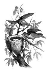 Bird's Nest : Blackbird - Merle & Nid - Turdus Iliacus