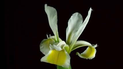 fioritura alla rovescia