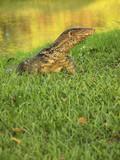 (Varanus salvator) the large species of monitor lizard poster