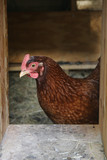 Chicken Framed Inside Coop Door