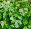 Prezzemolo - Petroselinum hortense