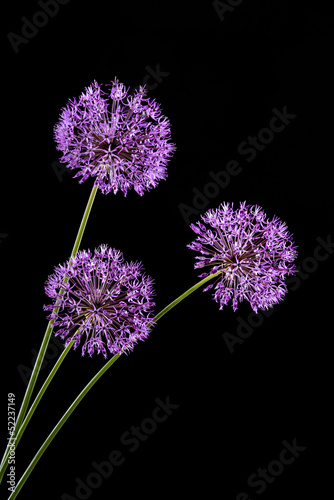 Violet Garlic Flowers