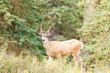 Young mule deer buck with velvet antlers in taiga