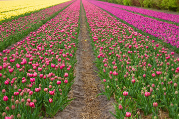 Rows of dutch tulips
