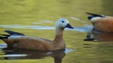 Couple Ruddy Shelduck floating on the water