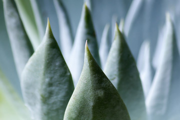 Succulent Plant Close-up