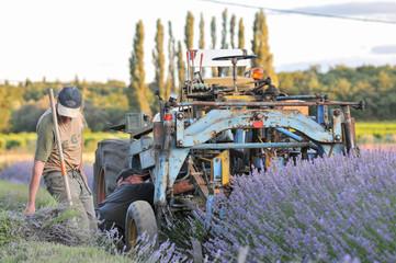 récolte champ de lavande avec veille machine agricole