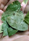 Coca leaves in the palm of your hand