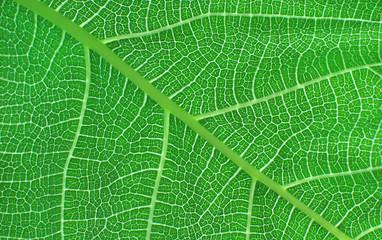 Venature di foglia verde in controluce