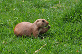 prairie dog rodent eating grass poster