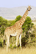Giraffe on the Masai Mara in Kenya