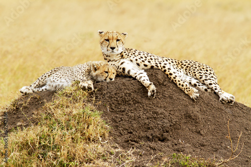 Cheetahs on the Masai Mara in Kenya