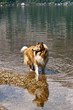 Scottish collie dog in a water of a lake