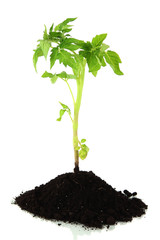 Young plant in ground isolated on white