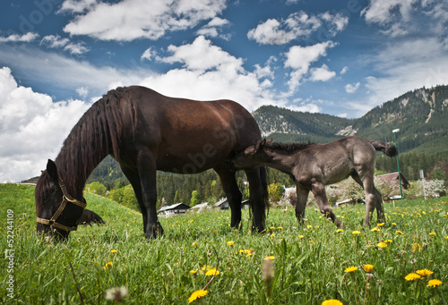 Young foal with his mother in a field ,Salzkammergut,Austria.