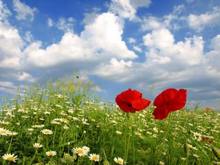 poppy and wild flowers
