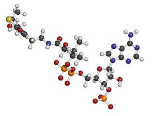 Acetyl-coenzyme A (Acetyl-coA) biochemical, molecular model.