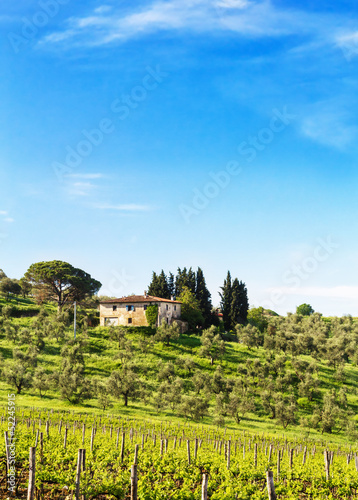 The tuscan vineyard and olive trees