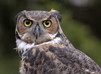 Great Horned Owl Ears Back