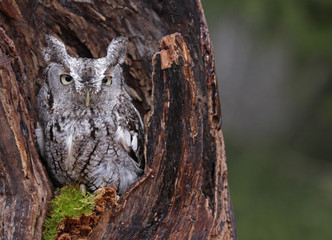 Screech Owl Looking from Stump