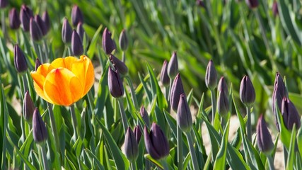 Yeloow tulip in a flowerbed of purple tulips