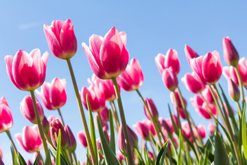 Pink tulips in front of a blue sky