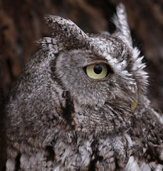 Eastern Screech Owl Profile (Megascops asio)..