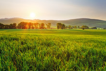 zielone pola pszenicy