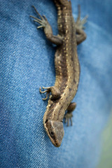 Lizard crawling on denim
