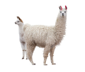 Female llama with a baby