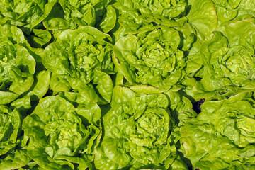 Green lettuce nature food background