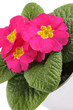 canvas print picture - Pink Primrose