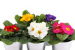canvas print picture - Many Primrose potted plants