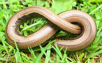 The Slow Worm or Blind Worm (Anguis fragilis).