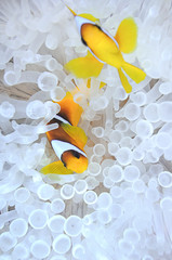 Amphiprion bicinctus, anemonefish in bleached sea anemone