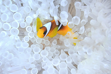 Anemonefish in bleached sea anemone