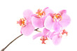 Studio shot of a pink orchid branch with many flowers