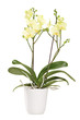 Yellow orchid in a white pot with many flowers