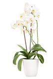 White orchid in a white pot with many flowers