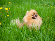 cute Pomeranian dog sitting in the green grass