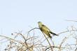 Common Cuckoo / Cuculus canorus ( European Cuckoo)