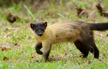 Yellow-throated Marten (Martes flavigula)