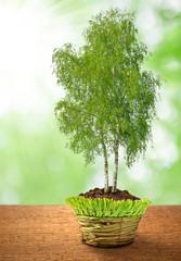 growing birch tree in decorative pot